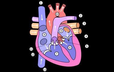 hjärtats delar test