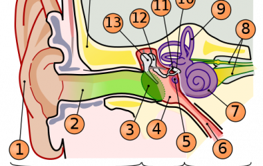 Spelet Örats anatomi - människa