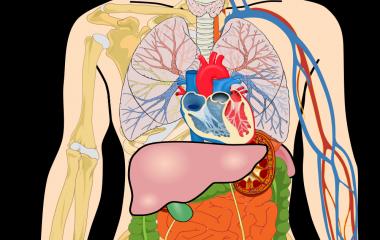 Spelet Organ - Anatomi