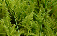 Sporväxter